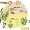 Fortpflanzung der Farne