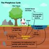 Der Phosphorkreislauf spielt in der Natur eine wichtige Rolle.