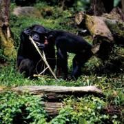 Schimpansen beim Bau eines Werkzeugs