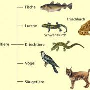 Wirbeltiere in biologie sch lerlexikon lernhelfer for Wassertiere im teich