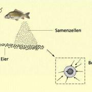 Äußere Befruchtung bei Fischen