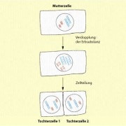 Verteilung der Erbsubstanz im Ergebnis der Mitose