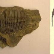 Paradoxides carens, eine Trilobitenart aus dem mittleren Kambrium, der Fundort ist Jince in Böhmen, Tschechische Republik, Länge: 14 cm; © Institut für angewandte Geowissenschaften der Technischen Universität Berlin (Fotograf: Wolf Schuchardt)