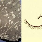 Graptolith aus dem Silur. Er besitzt nur einen Ast und unterscheidet sich darin von den mehrästigen Formen früherer Perioden.