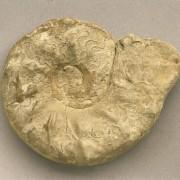 Ceratites, ein Ammonit aus dem oberen Muschelkalk der Mittleren Trias, 9,5 x 7,3 cm © Institut für angewandte Geowissenschaften der Technischen Universität Berlin (Fotograf: Wolf Schuchardt)