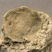 Nummulites, eine Großforaminifere aus dem Paläogen. Die gekammerten Gehäuse dieser einzelligen Organismen trugen zum Aufbau mächtiger biogener Massenkalke bei, 2,8 x 2,5 cm Institut für angewandte Geowissenschaften der Technischen Universität Berlin (Fotograf: Wolf Schuchardt)