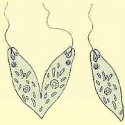 Längsteilung (Euglena)