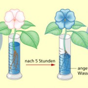 Nachweis der Wasserleitung in Pflanzen