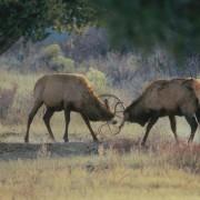 Hirsche kämpfen um Weibchen.