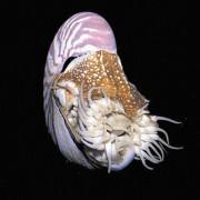 Nautilen gehören zu den hoch entwickelten Cephalopoden.