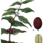 a) Kaffeepflanze mit Blüten und Früchtenb) Kaffeekirschec) Kaffeesamen (Kaffeebohne)