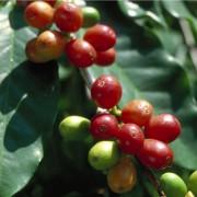 unterschiedlich reife Kaffeekirschen