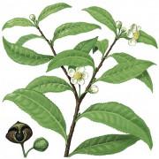 blühende Teepflanze – Zweig und Kapselfrucht (links unten), die schwarzbraune, etwa 1 cm große Samen enthält
