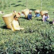 Ernte auf einer Teeplantage