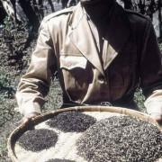 Getrocknete und sortierte Teeblätter