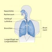 Atmungsorgane des Menschen