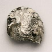 Steinkern eines Ammoniten mit Lobenlinien. Es handelt sich um die Art Sporadoceras biferum aus dem Devon. Der Fundort ist Erfoud in Marokko. Institut für angewandte Geowissenschaften, Technische Universität Berlin(Fotograf: Wolf Schuchardt)
