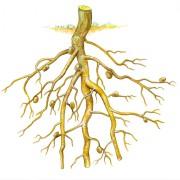 Leguminosenwurzel mit Knöllchenbakterien. In den Verdickungen der Wurzel leben die Bakterien, welche durch einen chemischen Stoff der Pflanze angelockt werden.