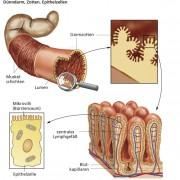 Aufbau der Darmwand