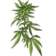 Hanfpflanze der Art Cannabis sativa ssp. indica. Die Blüten der weiblichen Pflanze sind sehr reich an etherischen Ölen und THC.