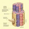 Feinbau der Skelettmuskulatur