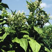 An der Tabakpflanze glückte die Genübertragung.