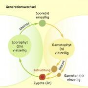 Heterophasischer Generationswechsel (typisch für Pflanzen und viele Algen)