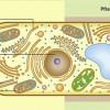 Schematischer Bau eines Eucyten