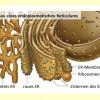 Bau des Endoplasmatischen Reticulums