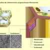 Schematischer Aufbau der Zellwand einer ausgewachsenen Pflanzenzelle