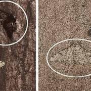 Birkenspanner: Der dunkle Falter ist eine Mutationsform.
