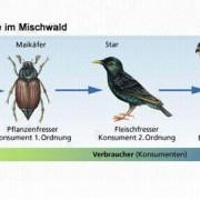 Nahrungskette im Mischwald