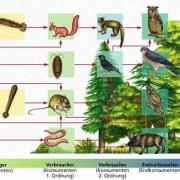 Ausschnitt aus einem Nahrungsnetz in einem Mischwald.