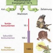 Durch die Energiepyramide wird die Abnahme der zur Verfügung stehenden biomassebezogenen Energie von trophischer Stufe zu trophischer Stufe deutlich.