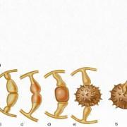 Zygosporenbildung beim Köpfchenschimmel (Mucor mucedo, ein Jochpilz): a) Zwei Hyphen wachsen aufeinander zu. b) Berührung und Abplattung. c) Zellwände lösen sich auf und verschmelzen. d) Vielkernige Gametocysten werden von den Trägerzellen abgetrennt und vereinigen sich zur Zygospore. e) Die Wand der Zygospore wird dicker und f) keimt zur Sporocyste aus, in der sich unter Meiose zahlreiche Sporen bilden.