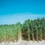 Ertragssteigerung (Pflanzen rechts) durch Düngung