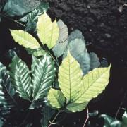 Kaffeepflanze. Koffein ist in Kaffee enthalten.
