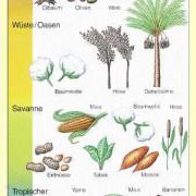 Kulturpflanzen Afrikas