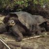 Galapagos-Riesenschildkröten sind vom Aussterben bedroht. Sie werden in der Charles-Darwin-Forschungsstation auf Santa Cruz gezüchtet.
