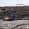 Der ausgewachsene Galapagos-Seelöwenbulle zeigt Angriffslust und Beweglichkeit beim Verteidigen seines Reviers.