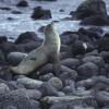 Die hitzeempfindlichen Galapagos-Pelzrobben suchen Schatten in Lavaspalten und -höhlen.