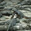 Die schwarzgefärbten Meerechsen sind auf dem dunklen Lavafelsen – auf dem sie Wärme aufnehmen – kaum zu erkennen.