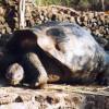 Eine Galapagos-Riesenschildkröte mit Sattelpanzer.