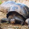 Eine Galapagos-Riesenschildkröte mit Kuppelpanzer.