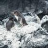 Die Galapagos-Pinguine verpaaren sich fürs Leben und nisten zwischen Lavafelsen.