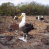 Der Galapagos-Albatros bewegt sich auf dem Lande watschelnd und unbeholfen fort.