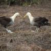 Genau festgelegte Bewegungen kennzeichnen das Balzverhalten der Galapagos-Albatrosse.