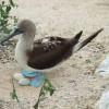Ein Blaufußtölpel beschützt seine Eier im Nest.