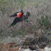 Zur Balz- und Paarungszeit blasen die Fregattvogelmännchen einen weithin rot leuchtenden Beutel unter ihrer Kehle auf.