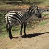 Ein Steppen-Zebra – erkennbar an den breiten schwarzen und weißen Streifen – grast in der Serengeti.© Hans-Ulrich Pews, Berlin